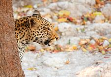 Free Leopard Sitting In The Grass Royalty Free Stock Image - 19525436
