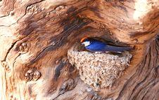 Wire-tailed Swallow (Hirundo Smithii) Stock Photos