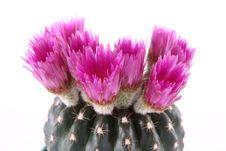 Free Cactus Plant Royalty Free Stock Photos - 19525848