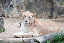 Free An African Female Lion Cat Royalty Free Stock Photo - 19525955