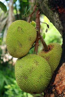 Free Jackfruit Stock Photography - 19526652