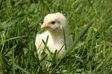 Free Chick Stock Photo - 19526950