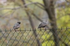 Starlings On The Fence Stock Image