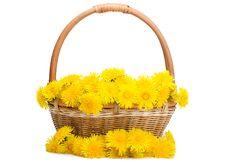 Free Yellow Dandelion In Basket Royalty Free Stock Photos - 19527568