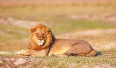 Free Lion (panthera Leo) In Savanna Royalty Free Stock Photos - 19527728