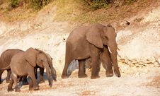 Large Herd Of African Elephants Royalty Free Stock Photography