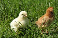 Free Chicks Royalty Free Stock Photos - 19527748