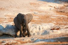 Free Small African Elephant Calf Stock Images - 19527754