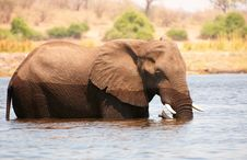 Free Large African Elephant Bull Royalty Free Stock Photography - 19527757