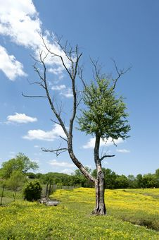 Tree In Horse Pasture Royalty Free Stock Photo