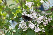 Free Black Swallowtail Butterfly Royalty Free Stock Images - 19528199