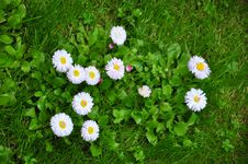 Free Daisy Flowers Stock Photography - 19528312