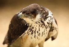 Free Saker Falcon Stock Photography - 19528852