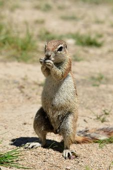 Free Ground Squirrel At Eating. Royalty Free Stock Photos - 19529148