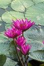 Free Pink Lotus Blooming . Stock Photos - 19531513