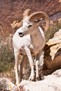 Free Albino Bighorn Ram Sheep Stock Photo - 19532580