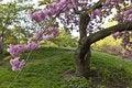 Free Japanese Cherry, Prunus Serrulata Stock Image - 19537631