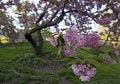 Free Japanese Cherry, Prunus Serrulata Stock Photo - 19537640