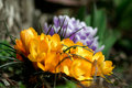 Free Yellow And Purple Crocuses Royalty Free Stock Photography - 19538177