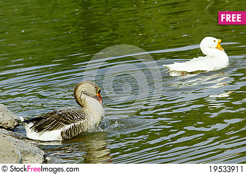 Free Geese Stock Image - 19533911