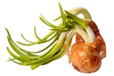 Free Sprouting Onion Stock Photography - 19530702