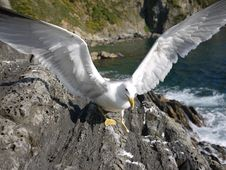 Seagull Pride Royalty Free Stock Image