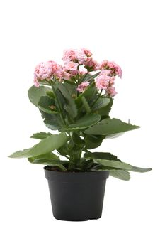 Pink Kalanchoe Flower Plant Isolated Royalty Free Stock Photography