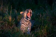 Free African Leopard Stock Photo - 19531410