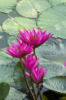 Free Pink Lotus Blooming . Stock Photos - 19531513