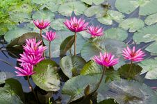 Free Pink Lotus Blooming . Royalty Free Stock Image - 19531576