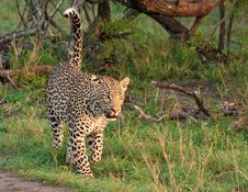Free African Leopard Royalty Free Stock Photography - 19531847