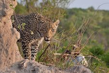 Free African Leopard Royalty Free Stock Photography - 19531917