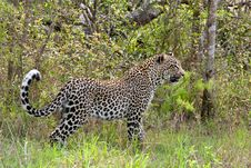 Free African Leopard Royalty Free Stock Images - 19532079