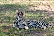 Free African Leopard Royalty Free Stock Images - 19532179