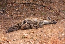 Free African Spotted Hyena Stock Photos - 19532613