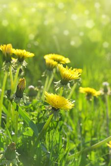 Free Meadow With Dandelions Stock Images - 19532654