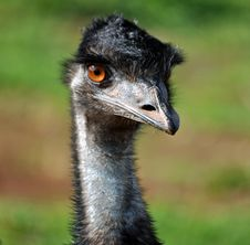 Free Emu Stock Image - 19532711
