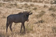 Free Blue Wildebeest In Kalahari Royalty Free Stock Photo - 19532885