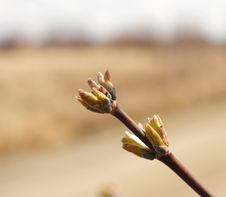Free Spring Bud. Royalty Free Stock Photo - 19533035