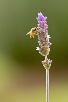 Free Bee On Purple Lavender Royalty Free Stock Images - 19533169