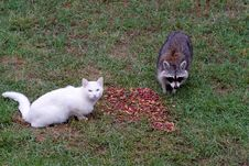 Free Cat And Raccoon Royalty Free Stock Photos - 19533228