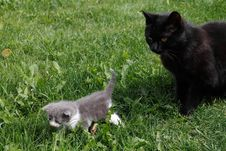 Free Black British Purebred Mother Cat And Newborn Baby Stock Photography - 19533502