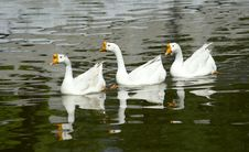 Free White Geese Stock Photos - 19533763