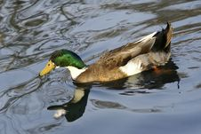 Free Green Head Duck Royalty Free Stock Images - 19533939
