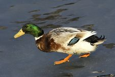Free Green Head Duck Royalty Free Stock Images - 19533949
