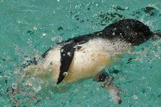 Free Little Penguin Stock Photo - 19535790
