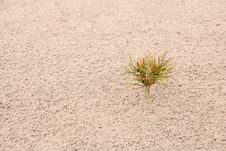 One Small Pine On Sand. Horizontal Stock Photos