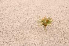 One Small Pine On Sand. Horizontal