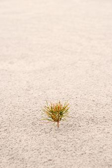 Free One Small Pine On Sand. Vertical Royalty Free Stock Photography - 19536157