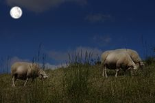 Free Sheep Grazing In The Moonlight Royalty Free Stock Photos - 19536658